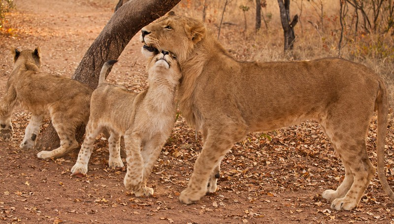 Young male lion bonding with Dad, on an early morning walk.