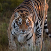 This bengal tiger's name is Samara, and he lives at Out of Africa.