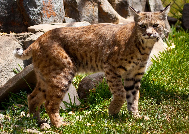Bobcat in California