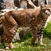 Bobcat at Lions, Tigers, & Bears in California
