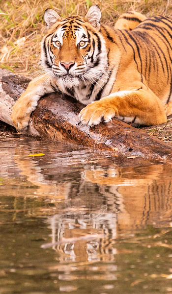 Reflection of resting tiger