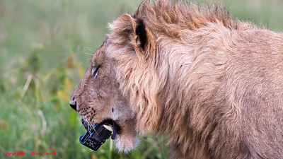 Lion with Camera