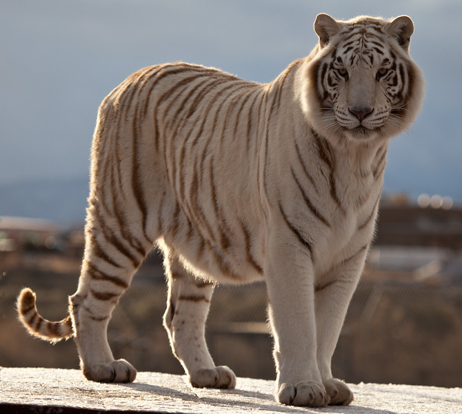 This beautiful white tiger named Chalet lives in Out of Africa, and enjoys participating in Tiger Splash regularly.