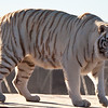 This handsome white tiger's name is Chalet, and he lives in Out of Africa.
