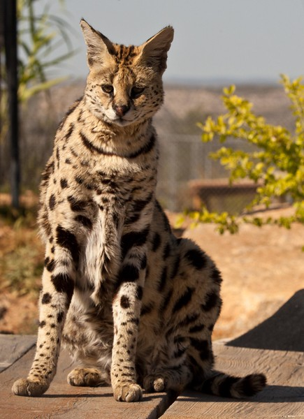 A very beautiful Serval cat at Out of Africa.  I was probably 4 feet away from her when she was eating and I could not believe how loud her purring was.  They are very affectionate.