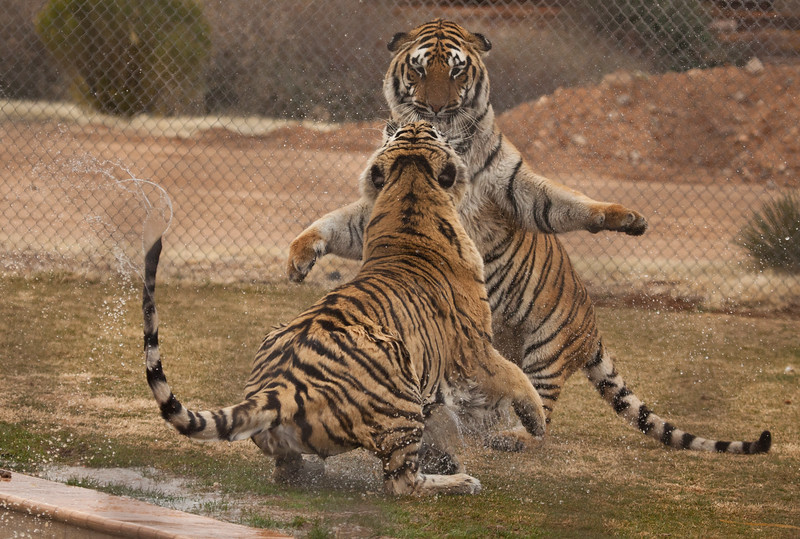The lower tiger started this brief kitty battle, but the standing tiger was able to end it very quickly and decisively without any injuries.
