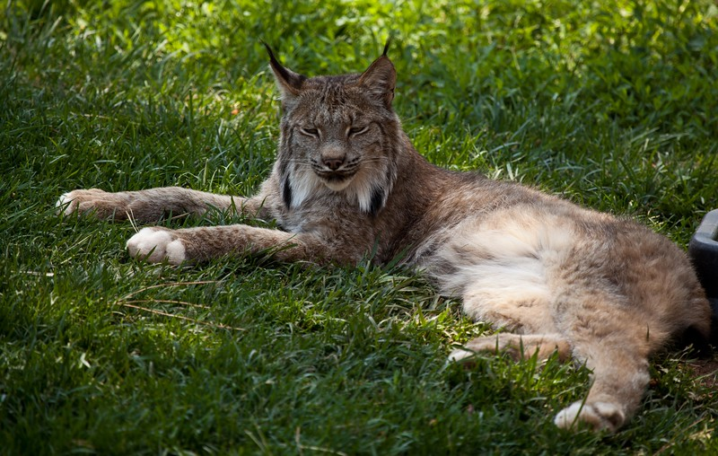 Canadian Lynx at Bearizona, Williams, AZ