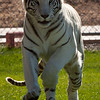 This handsome white tiger's name is Chalet and he lives in Out of Africa