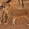 Love and admiration from a young lion watching his dad teach him how to roar.