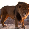This beautiful male lion, Asanti, lives at Out of Africa