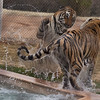 This was a more heated kitty battle.  The tiger on the right came out of the pool and started a scuffle.  As can be seen, the tiger on the left is more than able to protect himself.  Nobody was hurt.  I was just glad they were rough housing with each other instead of me.  This was shot at 1/4000 of a second, showing how fast the tiger was moving his tail, and the trail of water it was sending out.