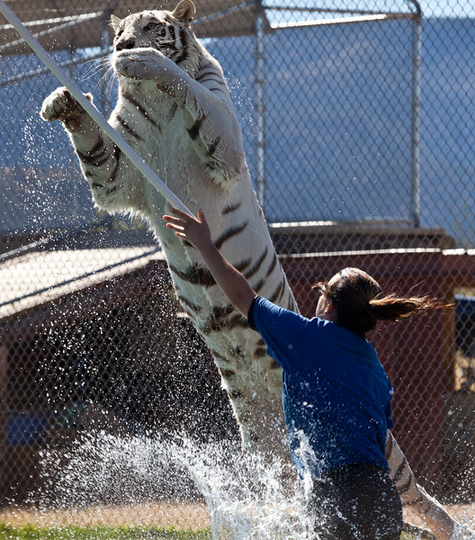 This handsome white tiger's name is Chalet, and he lives at Out of Africa in Camp Verde, AZ.  I was impressed he was just having fun, playing naturally, and not responding to any training.