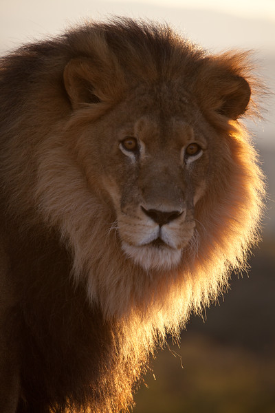 A very wise looking lion at Out of Africa in Camp Verde, AZ.  Looking into his eyes, I got the feeling I would love to be able to talk with him and learn his lessons on life.  His name is Asanti.