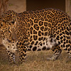 Leopard at Southwest Wildlife Conservation Center