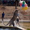 Chalet, the white tiger is having fun playing at Tiger Splash at Out of Africa.  The balloons started poping very shortly after this photograph.