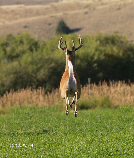 OV 06JL081<br /> <br /> It was very interesting seeing this buck mature and grow throughout the season.