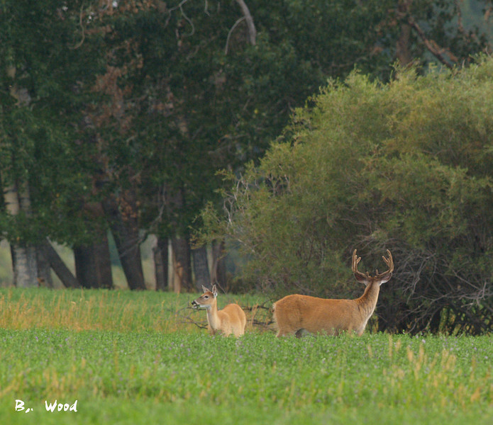 OV 07AU9170<br /> <br /> 5X5 (10 points) buck.  Notice how wide his rack is.