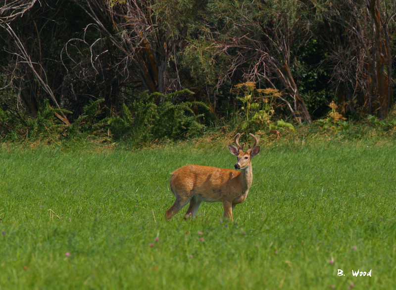 OV 07AU9136<br /> <br /> 3x3 (6 point) whitetail buck.
