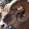Note the size and strength of the horns.  Imagine receiving a hit from these.  Bighorns have an unusual digestive system which removes all the good nutrients from poorer quality food.