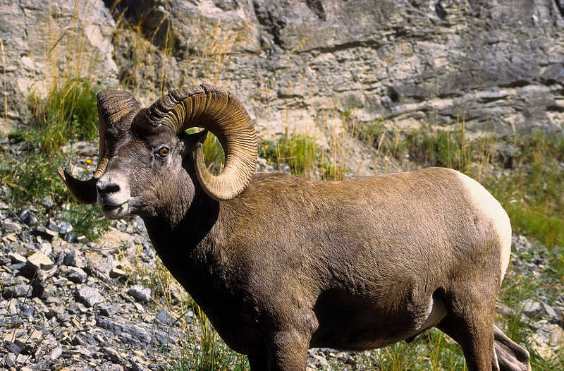 Bighorns have very acute vision which helps in the quick movement up and down the cliffs.  It also aids with seeing predators from a distance.  Once high up on the rocks, there are few predators who can catch them.