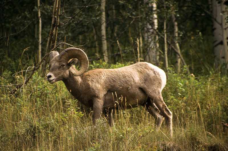 Surrounded by lush vegetation, this Bighorn is having a fine time.  Bighorn's love the high alpine meadows and enjoy the grass. leaves, roots, shoots and twigs.