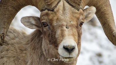 Big Horn Sheep, Wyoming
