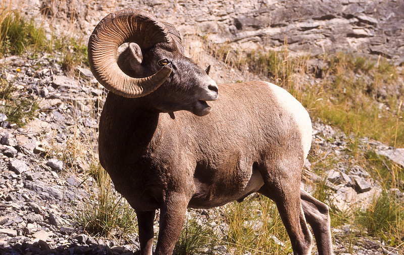 This massive ram standing high on the cliffs is a very powerful and dangerous animal.  The other rams keep their distance.  Note the size of his head and horns.