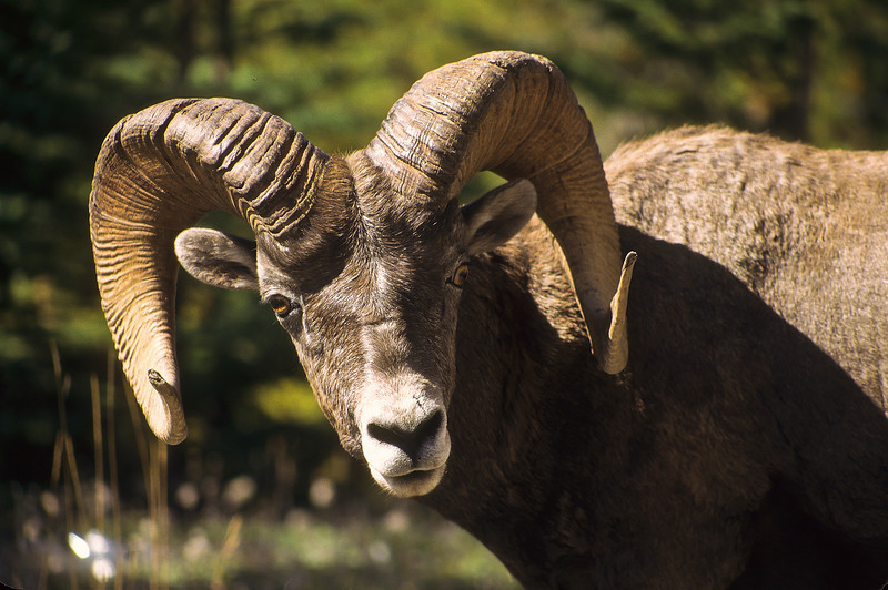 A force to be reckoned with, a very large Bighorn.