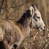 Big Horn Sheep along HWY 200 near Plains.