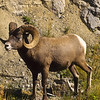 I would not be very good at cliff dwelling and this large ram was wondering what i was doing there.  Note his nimble legs and powerful body.