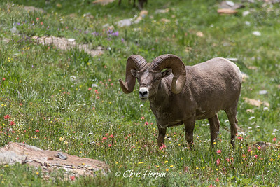 Big Horn Sheep - Glacier National Park, Montana