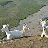a small herd of dall sheep