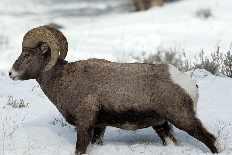 Big horn sheep in snow