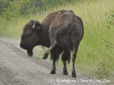 Annoyed Bison Cow