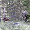 Moose Calf with Mama - Rocky Mountain National Park