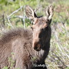 Young Moose Rocky Mountain National Park
