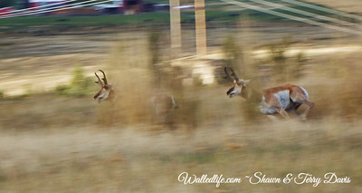 Pronghorn in Motion