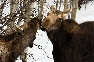 Little yearling bull wants to share mom's find.  These guys were right close to the road in Sheep River Provincial Park, Alberta (after a fresh snowfall).