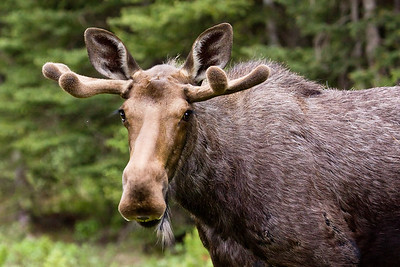 A young-ish bull moose, early in the summer - taken in Peter Lougheed Provincial Park, Alberta.
