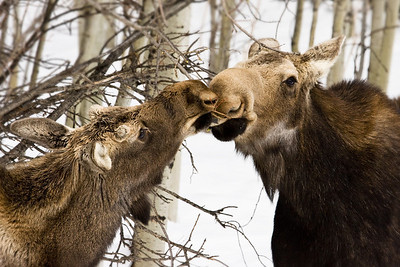 Little yearling bull takes a tasty branch right out of mom's mouth.  These guys were right close to the road in Sheep River Provincial Park, Alberta (after a fresh snowfall).