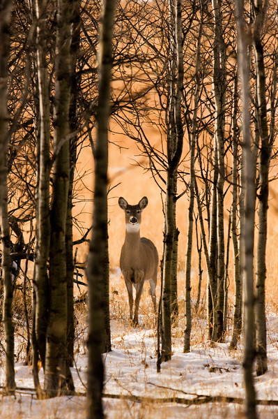 Curious white tail doe towards the end of a fall day.  Photo taken west of Turner Valley, Alberta (November 17, 2008).