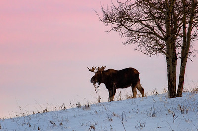 A single bull moose feeds along the ridge of a hill just before sunset. West of Turner Valley, early January 2013.