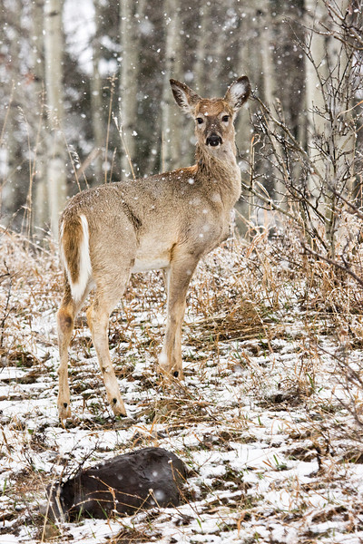 This whitetail doe watches me.  We had a late spring snowfall the last weekend of April making it relatively easy to track these guys.