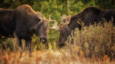 I re-worked an old image in some new software and really like what it did. This was kind of a fun moment. Something made me choose to drive home the long-way around this day, and these guys just happened to be off to the side of the road. Two bull moose, barely beyond Spike Class, were very much practicing for future considerations!