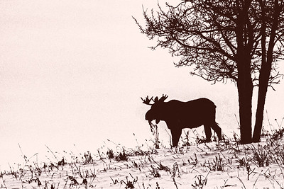The previous image of a bull moose in early January, converted to a graphic high-contrast monochrome image.