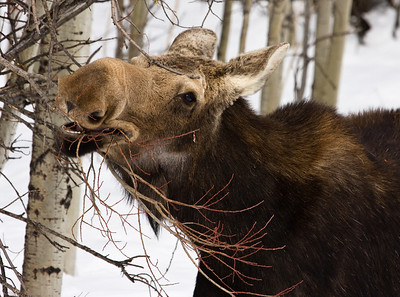 Female moose browsing on willow branches during the Alberta winter. Sheep River Provincial Park.
