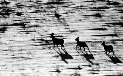 Mule deer running across an open field just before sunset.