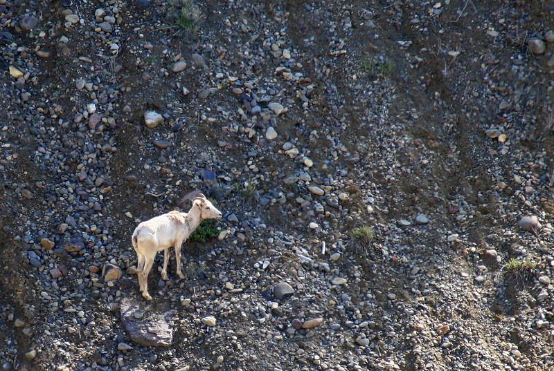 A bighorn sheep ewe climbs a rock slide