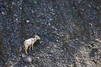 A bighorn sheep ewe climbs a rock slide
