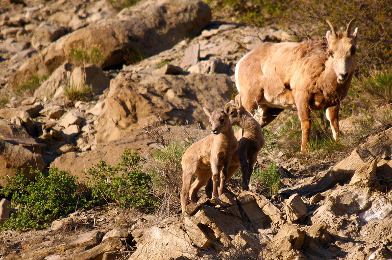 These bighorn sheep lambs were expertly scrambling around on the high rocks at sunset